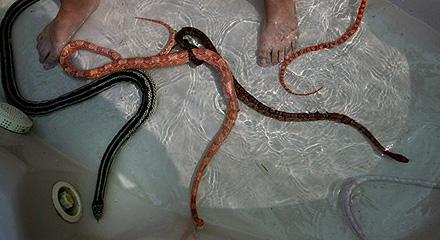 snake_hp